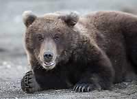 I visited Lake Clark National Park for a short time (only three days), and despite the mixed weather conditions still had several nice bear encounters.