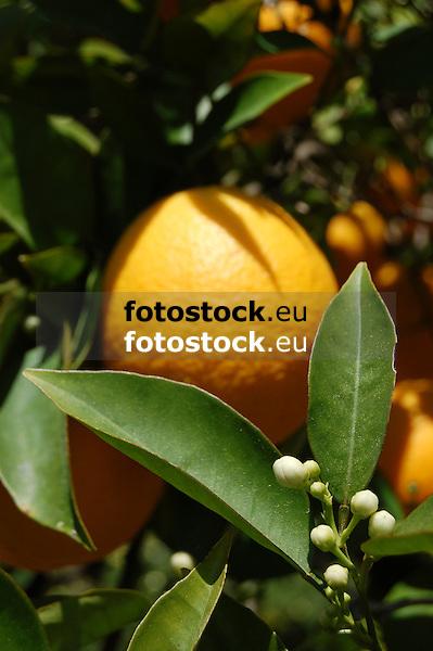 Ripe orange fruit and white blossoms<br /> <br /> Naranja madura y azahares<br /> <br /> Reife Orange und weiße Orangenblüten<br /> <br /> 3008 x 2000 px<br /> 150 dpi: 50,94 x 33,87 cm<br /> 300 dpi: 25,47 x 16,93 cm