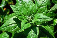Alimentos. Folhas de Espinafre ( Spinacia dichotoma). Foto de Sônia Oddi.