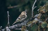 Pine Siskin, Carduelis pinus, adult, Homer, Alaska, USA, March 2000