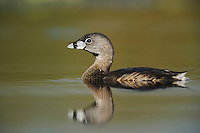 Pied-billed Grebe (Podilymbus podiceps), adult swimming, Fennessey Ranch, Refugio, Coastal Bend, Texas Coast, USA