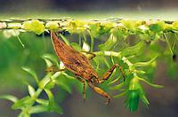 Wasserskorpion, Wasser-Skorpion, Nymphe, Jungtier, Larve, Nepa cinerea, Nepa rubra, water scorpion