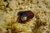hummingbird bobtail squid, Berry's bobtail squid, Euprymna berryi, Mabul Island, Malaysia, Celebes Sea, Indo-Pacific Ocean