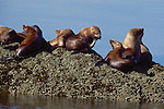 Alaska, Steller's sea lions vie for haul-out turf in Frederick Sound, Inside Passage, Southeast Alaska,  USA,