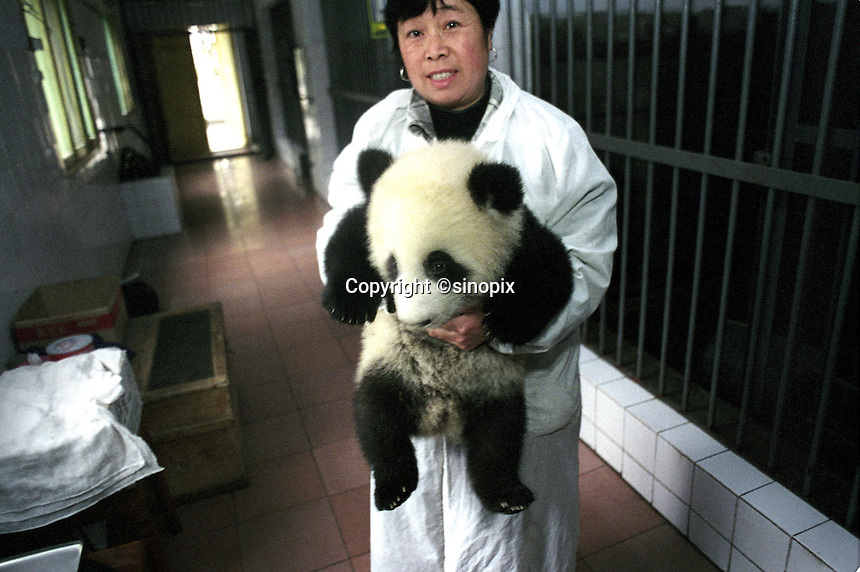 A five-month-old male panda cub, Shi Shi, is carried off for a midday nap by his keeper...