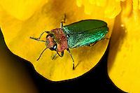 Glänzender Blütenprachtkäfer, Glänzender Blüten-Prachtkäfer, Zierlicher Prachtkäfer, Zierliches Prachtkäferchen, Glänzender Eckschild-Prachtkäfer, Glänzender Eckschildprachtkäfer, Weibchen, Blütenbesuch, Anthaxia nitidula, Jewel beetle, Metallic wood-boring beetle, Prachtkäfer, Buprestidae, metallic wood boring beetles, metallic wood borers, splendour beetles, buprestids