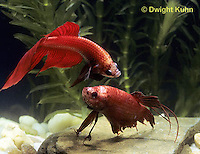 BY01-015z  Siamese Fighting Fish - male chasing and biting a rival male - Betta splendens