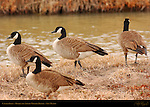 Canada Geese, Bosque del Apache Wildlife Refuge, New Mexico