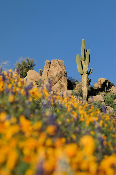 Desert in bloom with Mexican Gold Poppy (Eschscholzia californica mexicana), Desert Lupine (Lupinus sparsiflorus), Saguaro Cactus (Carnegiea gigantea), Tonto National Forest, Bartlett Lake , Arizona, USA