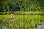 A young naked boy helps plant rice in Lombok, Indonesia.