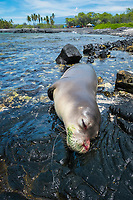carcass of Hawaii, USA, Pacific Oceanan monk seal, Neomonachus schauinslandi( Critically Endangered, endemic species ), with fishing line coming out of mouth; 8 month old juvenile male named Keokea; necropsy later confirmed that seal died due to lung punctured by fishing hook; Keawaike Bay, South Kohala, Hawaii, USA, Pacific Ocean Island ( the Big Island ), Hawaii, USA, Pacific Ocean, USA