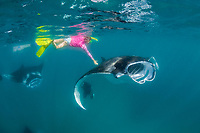 snorkeler reaches down to touch a reef manta ray, Mobula alfredi, feeding on plankton, Hanifaru Bay, Baa Atoll, Maldives, Indian Ocean