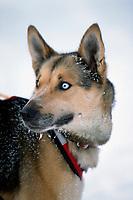 Portrait of Sam Perrino's Lead Dog at Takotna AK<br /> 2004 Iditarod
