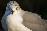 A stare from a Ring-billed gull on a winter afternoon.