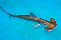 Scalloped hammerhead shark pup, Sphyrna lewini, kept for research, Hawaii Institute of Marine Biology, Kaneohe, Hawaii