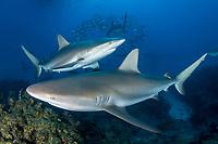 Caribbean Reef Shark, Carcharhinus perezi. Tiger Beach, Little Bahama Bank, Bahamas.