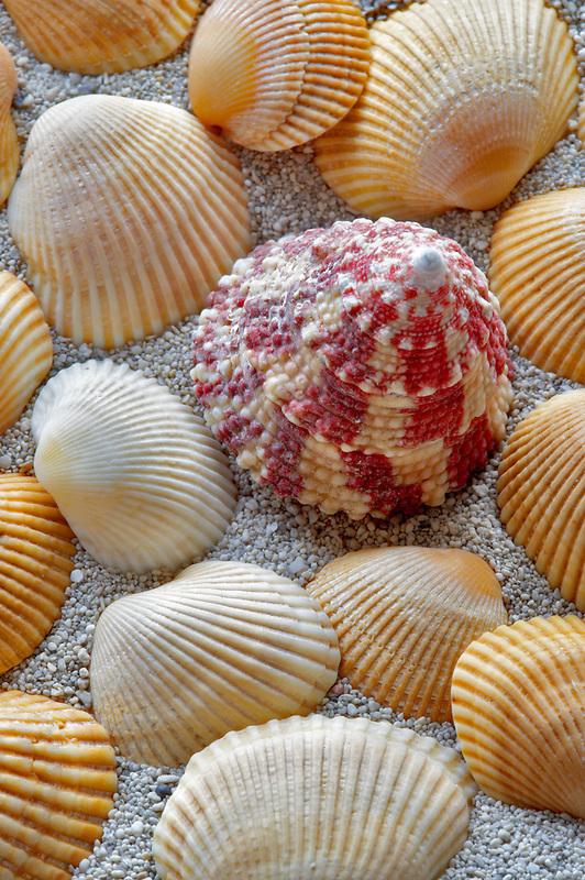 Red Stripe Trocus seashell and beach sand.