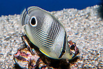 four-eye butterflyfish swimming 45 degrees to camera