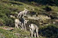 Young Rocky Mountain Bighorn Sheep lambs playing.  Northern Rockies.  June.