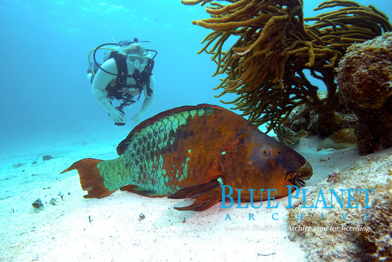 Rainbow parrotfish, scarus guacamaia, grows to 5.5 ft, resting on the sandy bottom, with a diver looking on
