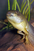 Bullfrog Tadpole (Lithobates catesbeianus or Rana catesbeiana)Showing emergence of hind legs in its transition from tadpole to adult frog. (do) (c)