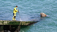 Wally the walrus looks on as an RNLI volunteer power washes the slipway of the lifeboat station in Tenby, west Wales, UK. Tuesday 11 May 2021
