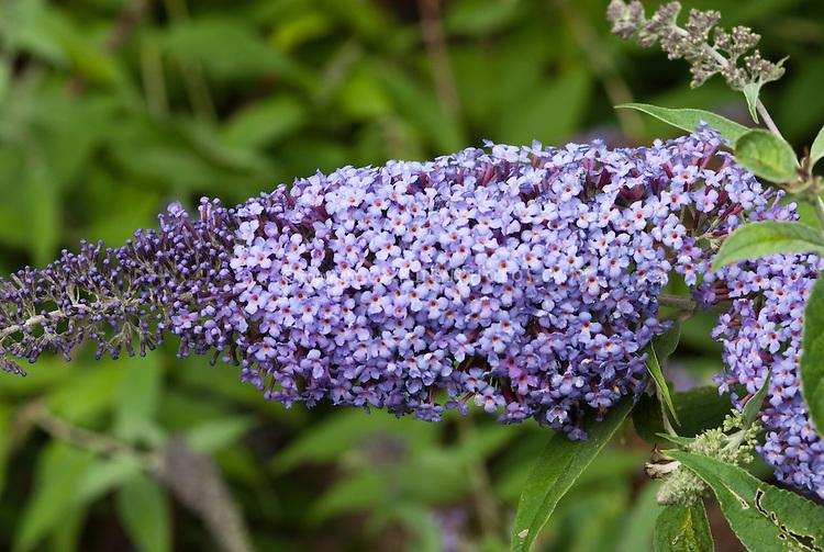 Butterfly bush Buddleja davidii Foxtail
