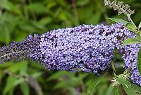 Butterfly Bush Stock Images Buddleja
