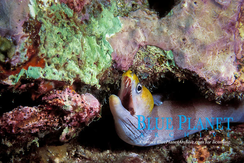 yellow-headed moray, banded moray, or black barred eel, Gymnothorax rueppellii, Ko Bon, Thailand (Andaman Sea, Indian Ocean)
