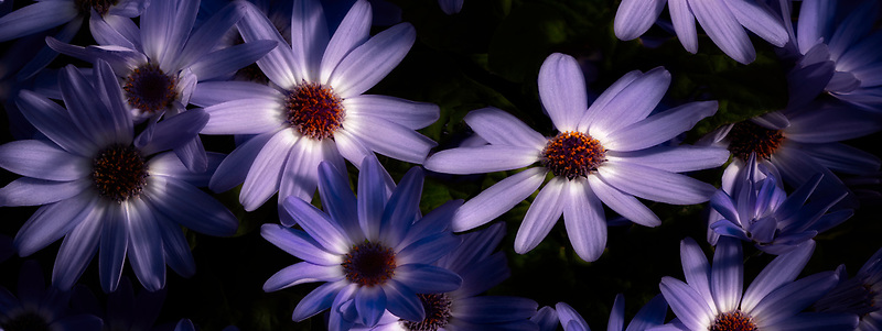 Close up of Cineraria.