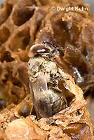 1B17-507z   Honeybee drone emerging from pupal case, Apis mellifera