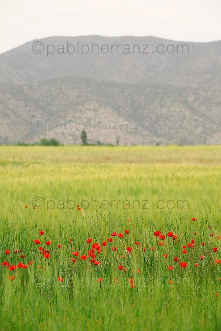 Prado con amapolas y la Sierra de Gavilan al fondo. Caravaca de la Cruz. Murcia.