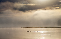 Geese float in the Yellowstone River at sunrise.