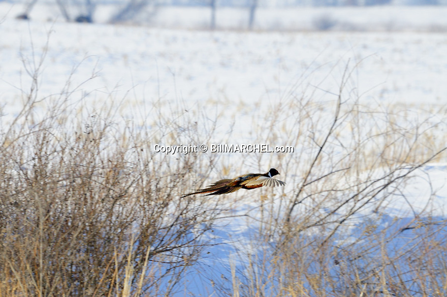00890-037.09 Ring-necked Pheasant rooster is flying over ditch containing drifted snow during winter.  Hunt, survive, cold, food, cover.