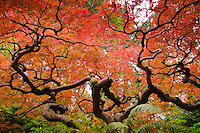 View looking up into the curly branches of a Japanese Maple in Fall colors of red and orange in the leaves with ferns in the foreground at the Portland Japanese Garden