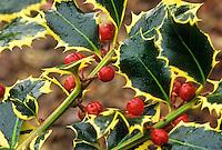 Ilex aquifolium 'Silver Trim' Variegated Holly with red berries