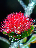 A close-up of an 'ohi'a lehua blossom growing in a rain-misted rainforest, 4,000-ft. elevation, Volcano, island of Hawai'i.