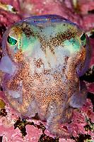Stout bobtail, Rossia macrosoma, Bergen, Hordaland, Norway, North Atalntic Ocean