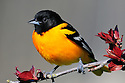 00865-02701 Baltimore Oriole male is perched in crab apple tree sprouting new leaves.  Orange, color.