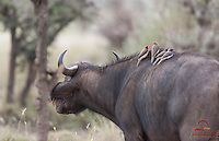 Yellow-billed Oxpeckers (Buphagus africanus) gather on Cape Buffalo's back, Lewa