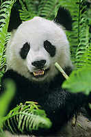 Giant Panda (Ailuropoda melanoleuca) in bamboo forest of central China.