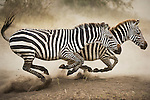 Two Burchell's zebra run after being startled from a watering hole by a predator in Serengeti National Park, Tanzania.