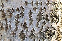 Zitterpappel, Zitter-Pappel, Pappel, Espe, Aspe, Rinde, Borke, Stamm, Baumstamm, mit rautenförmigen Korkwarzen, Populus tremula, Aspen, European aspen, quaking aspen, bark, rind, trunk, stem, Le Peuplier tremble, Tremble, Tremble d'Europe