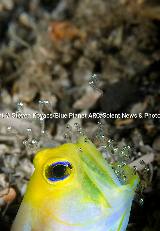 Pictured:  The yellowhead jawfish with his mouth full of eggs as they hatch out, releasing the fish.<br /> <br /> Hey kids, stop giving me a mouthful!  This bright yellow fish is storing hundreds of eggs inside its large, open mouth.  The yellowhead jawfish protects its young from predators by keeping them in its mouth for around a week before releasing them.<br /> <br /> In the meantime the brooding male occasionally emerges from its burrow to aerate the eggs - spitting them out and sucking them back in.  Steven Kovacs managed to capture pictures of the fish at a popular diving spot under the Blue Heron Bridge in Riviera Beach, in the US state of Florida.  SEE OUR COPY FOR DETAILS.<br /> <br /> Please byline: Steven Kovacs/Blue Planet ARC/Solent News<br /> <br /> © Steven Kovacs/Blue Planet ARC/Solent News & Photo Agency<br /> UK +44 (0) 2380 458800