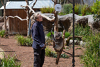 BNPS.co.uk (01202) 558833. <br /> Pic: ZacharyCulpin/BNPS<br /> <br /> Pictured: Keeper Abbie Wheeler weighs one of the Longleat koala's <br /> <br /> Keepers at a safari park are are using a novel method to weigh their koalas. <br /> <br /> Rather than attempt to get the adorable marsupials to stay still on a weighing machine, staff at Longleat Safari Park in Wiltshire use a set of scales attached to an adapted wooden branch, which the koalas happily hold on to.<br /> <br /> Weight is a key indicator of a koala's health and each individual animal has to be weighed twice a week to ensure they're in top condition.