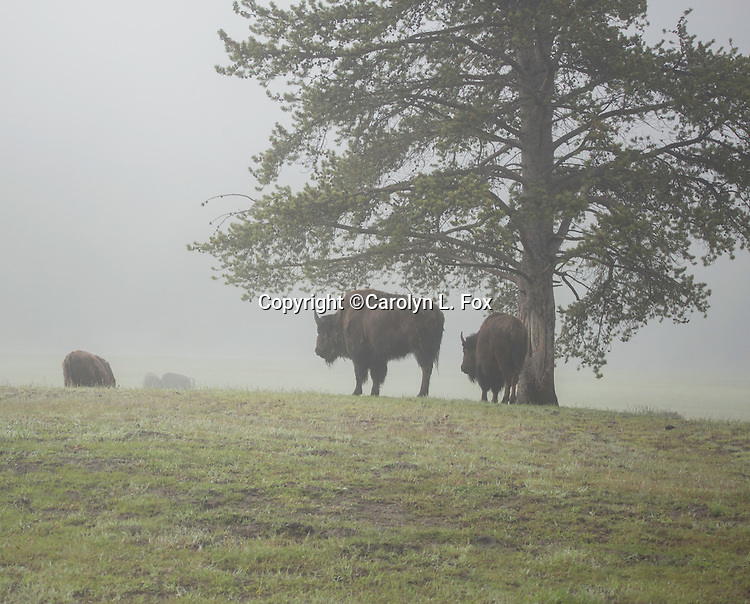 Bison stand in the fog in Yellowstone.