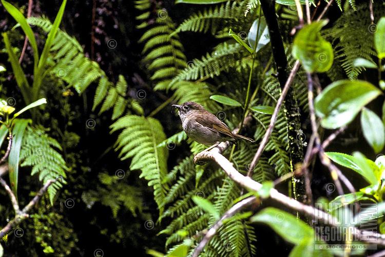 The Puaiohi or Small Kauai Thrush (myadestes palmeri) found in the Alakai swamp on Kauai