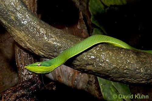 0122-08oo  Green Vine Snake - Amazon Vine Snake - Oxybelis fulgidus © David Kuhn/Dwight Kuhn Photography