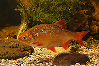 Gold-Rotfeder, Goldrotfeder, Zuchtform der Rotfeder, Scardinius erythrophthalmus, common rudd