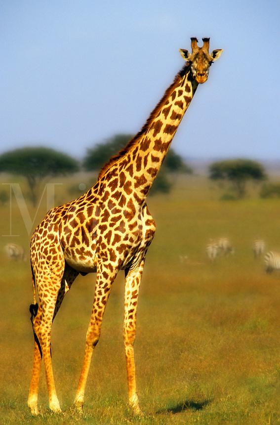 Giraffe in game park, Kenya. Africa...